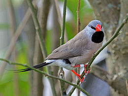 Long-tailed Finch RWD1.jpg