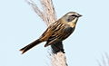 Long-tailed Reed-finch (Donacospiza albifrons) (15959493521) (cropped).jpg