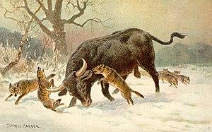 Long Horned European Wild Ox (aurochs)
