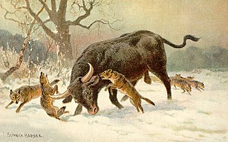 Pleistocene megafauna - A painting by Heinrich Harder showing an aurochs fighting off a Eurasian wolf pack