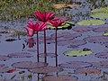 Lotus (2958093599).jpg