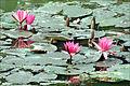 Lotus (baie dHalong terrestre) (4368430885).jpg