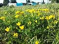 Lotus corniculatus var. corniculatus s. lat. sl7.jpg