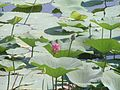 Lotuses. Volga-Akhtuba floodplain.jpg