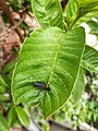 Lovebug on Guava Leaf 092720-02.jpg