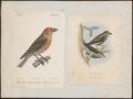 Loxia curvirostra - - Print - Iconographia Zoologica - Special Collections University of Amsterdam - UBA01 IZ16000225.tif