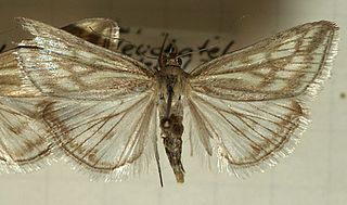 <i>Loxostege</i> genus of insects