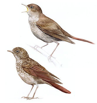 Thrush nightingale - A singing male above and a juvenile below