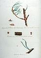Lycoperdon W. uredo — Flora Batava — Volume v11.jpg