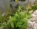 Lycopus europaeus ssp. europaeus PID2064-1.jpg