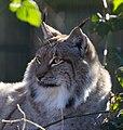 Lynx 5 (8489705166).jpg