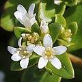 Lysimachia mauritiana (flower s2).jpg