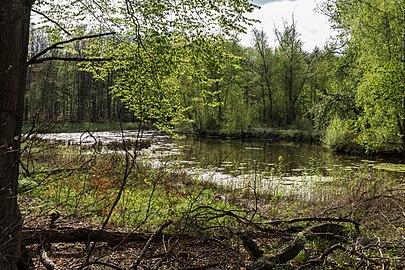 Münster, Wolbeck, Wolbecker Tiergarten, Naturwaldzelle -Teppes Viertel- -- 2014 -- 7095.jpg