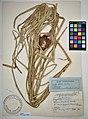 MNH DA 017-PAND-132 Freycinetia vidalii Hemsl.jpg
