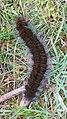 Macrothylacia rubi 99602242.jpg