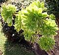 Madeira, Palheiro Gardens - Aeonium arboreum (Marokko) IMG 2310.JPG