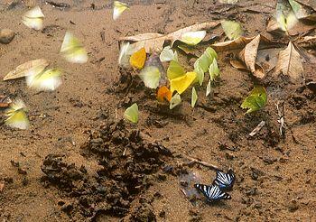 Madre de Dios%2C Schmetterlinge