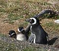 Magellanic Penguin with chicks (5540841863).jpg