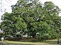 Magnolia Tree next to Colquitt County Courthouse.JPG