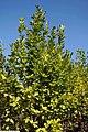 Magnolia acuminata Butterflies 2zz.jpg