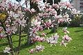 Magnolia soulangeana 2.JPG
