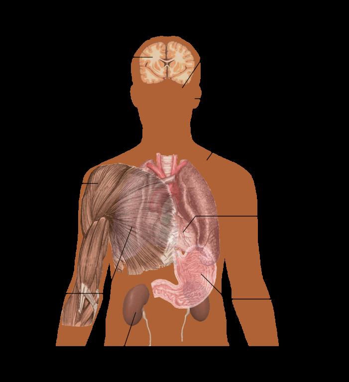 file:main symptoms of caffeine overdose - wikimedia commons, Skeleton