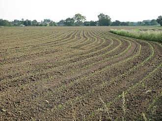 Arbigny - Maize seedlings