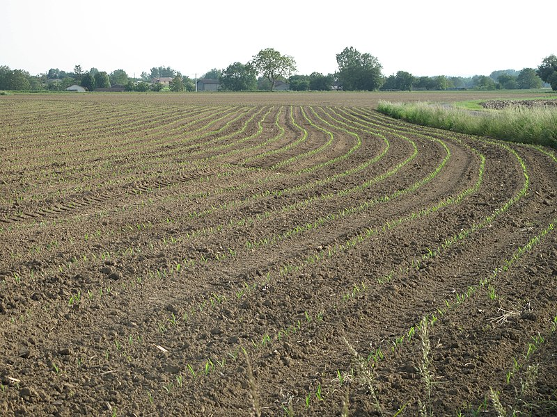 Maize seedlings in Arbigny (Ain, France).