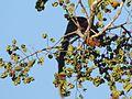Malabar Giant Squirrel In Muthanga.jpg