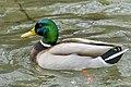 Malard Duck (243496439).jpeg