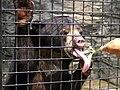 Malayan sun bear.JPG