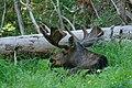 Male Alces alces (bull moose) (3718334391).jpg