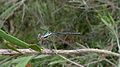 Male Common Flatwing (10868251993).jpg