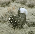 Male Greater Sage-Grouse (7074749347).jpg