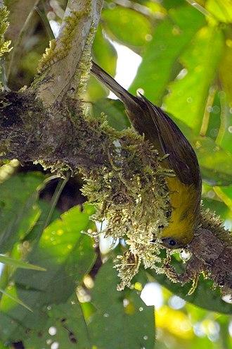 Malia (bird) - Image: Malia grata