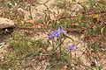 Malta - Mellieha - Triq ir-Ramla tal-Bir - Moraea sisyrinchium 03 ies.jpg