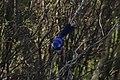 Malurus splendens (32284539650).jpg