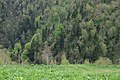 Maly Tkhach, Adygea, Малый Тхач, Хвойный лес на склонах, Адыгея.jpg