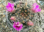 Mammillaria wrightii-- the Wright's Pincushion (27016710315).jpg