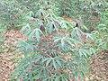 Manihot esculenta - Tapioca - Cassava at Periya (9).jpg