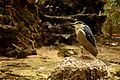 Manila Zoo Blue-crowned Heron.jpg