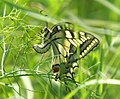 Mariposa desovando - butterfly laying eggs (249924137).jpg
