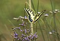 Mariposa rey atacada por una mosca azul 04 - butterfly attacked by a fly (279368193).jpg