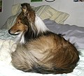 Marley, a Shetland sheepdog, lying on a bed - 20051210.jpg