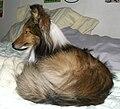 Marley, a Shetland sheepdog, lying on a bed - 20051210.jpg