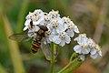 Marmalade Hover Fly (Episyrphus balteatus) on Common Yarrow (Achillea millefolium) - Oslo, Norway 2020-09-25.jpg