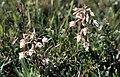 Marsh Helleborine (Epipactis palustris), Hightown - geograph.org.uk - 701293.jpg
