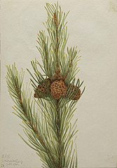 Lodgepole Pine (Pinus Contorta murrayana)