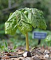 Mayapple Podophyllum peltatum Side 1.JPG
