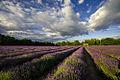 Mayfield Lavender Field LB Sutton.jpg